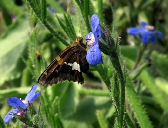silver-spotted skipper butterfly on a borage flower