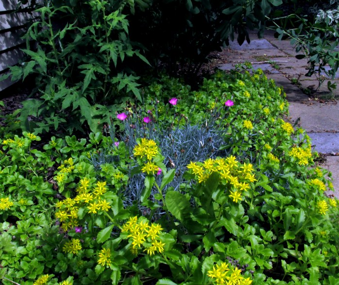 spreading sedum 'Spirit' with dianthus and echinops (globe thistle)