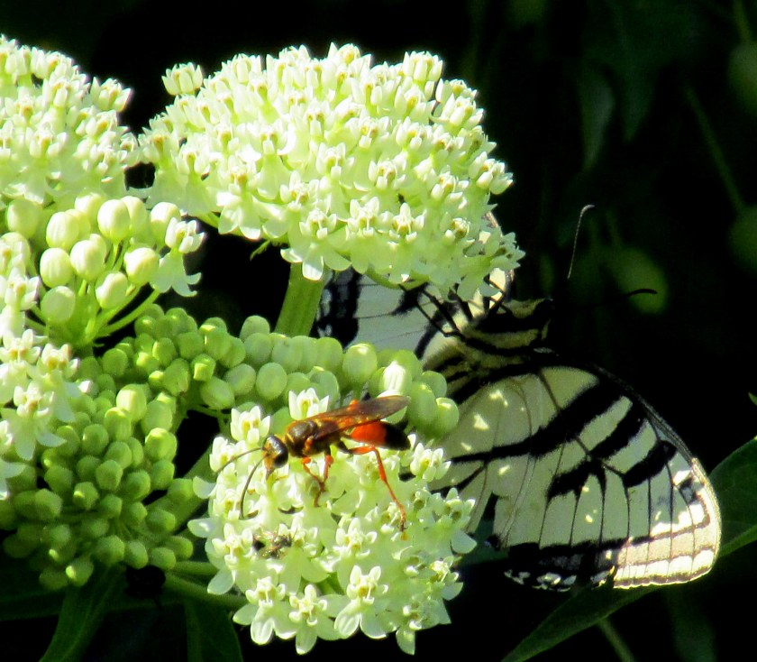 swallowtail butterfly underneath, great golden digger wasp on top