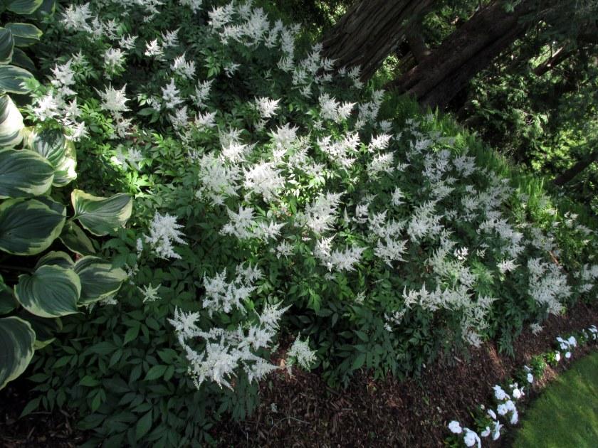 swath of white astilbe