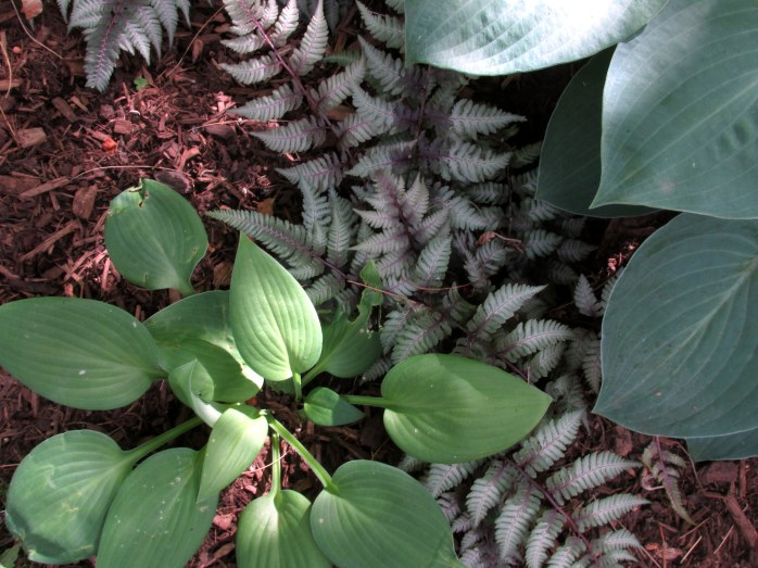volunteer green hosta, Japanese painted fern, 'Blue Cadet' hosta
