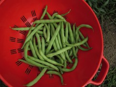 third green bean harvest 16 Aug