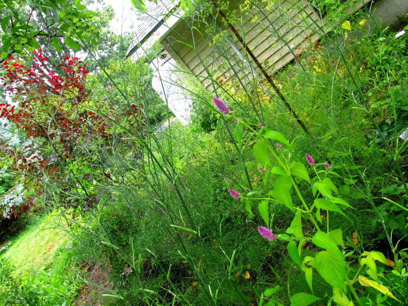 lots of fennel, first anise hyssop, purple sand cherry shrub