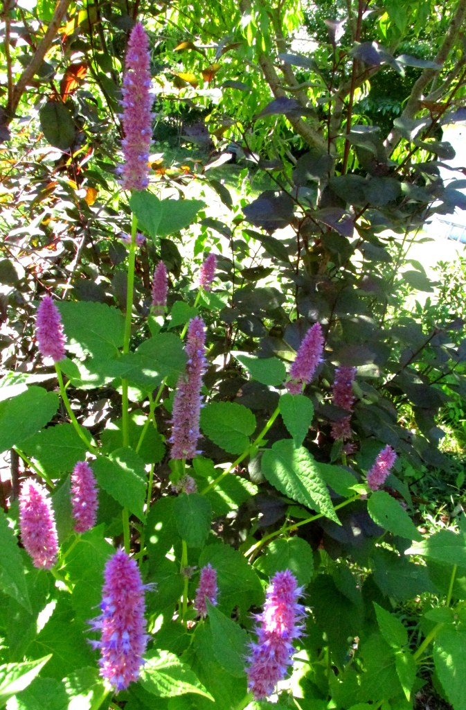 anise hyssop and purple sand cherry, 23 Aug