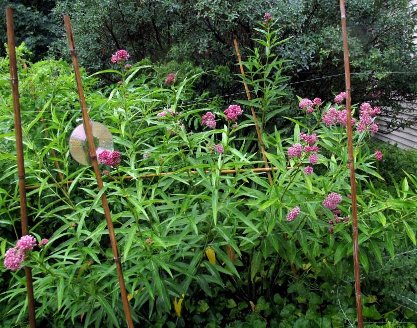 asclepias incarnata blooming outside veggie garden