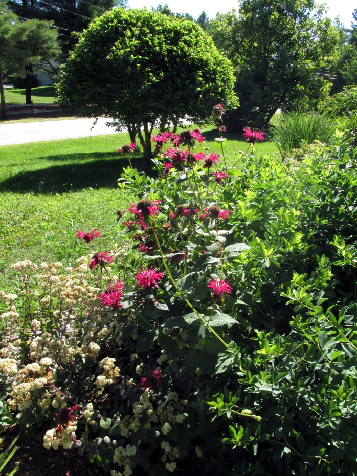 monarda (bee balm) with dwarf River King birch beyond, 23 Aug