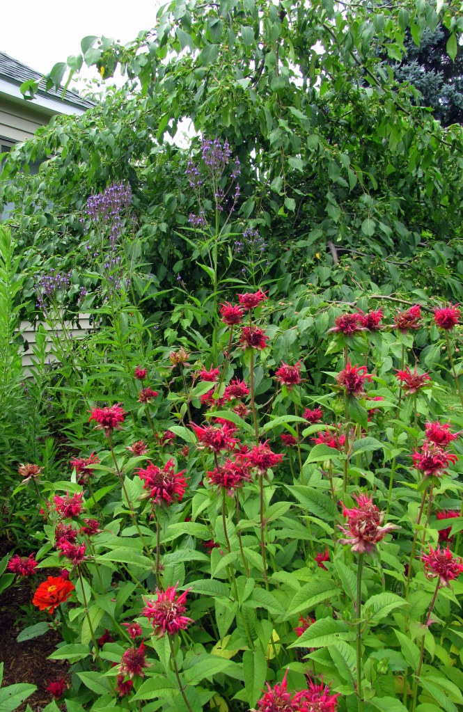 vervain and bee balm, with one orange zinnia peeking in
