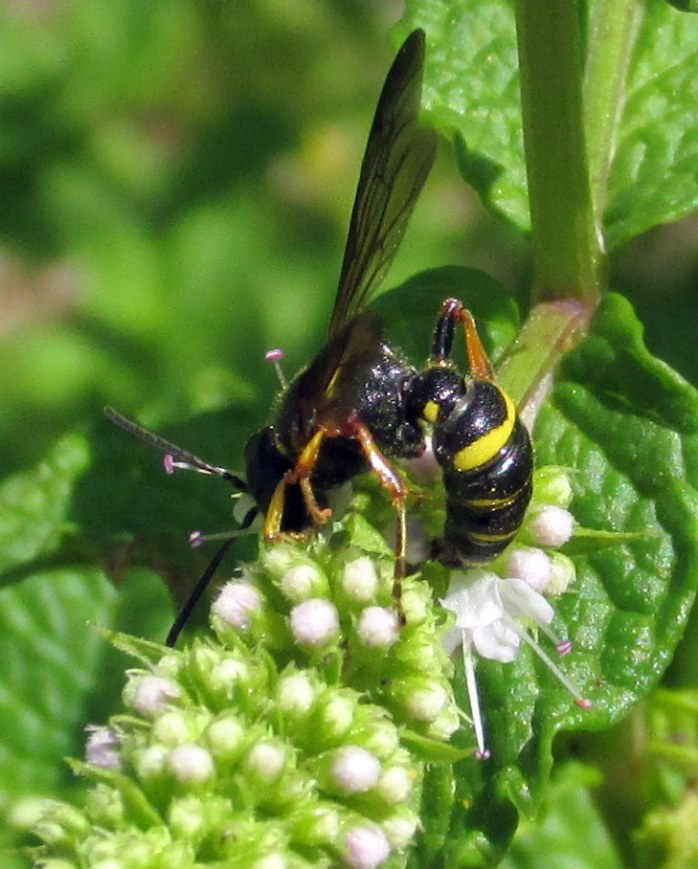bee on mint flower, 12 Aug