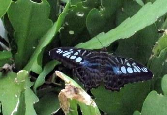 Clipper (Parthenos sylvia lilacinus)