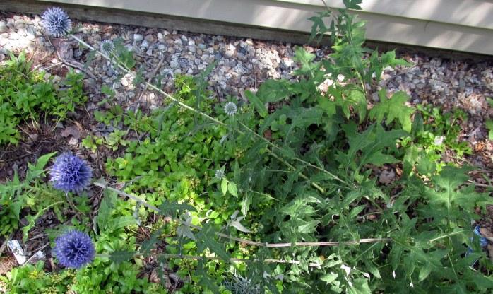 echinops (globe thsitle), 12 Aug