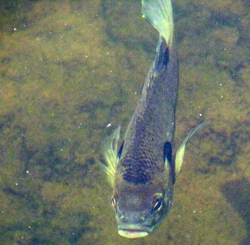 bluegill swimming