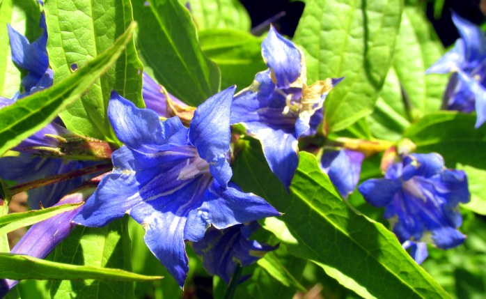 willow gentian flowers, 23 Aug