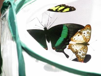 butterflies hatching