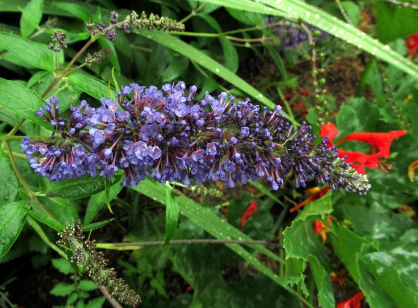 buddleia (butterfly bush) bloom