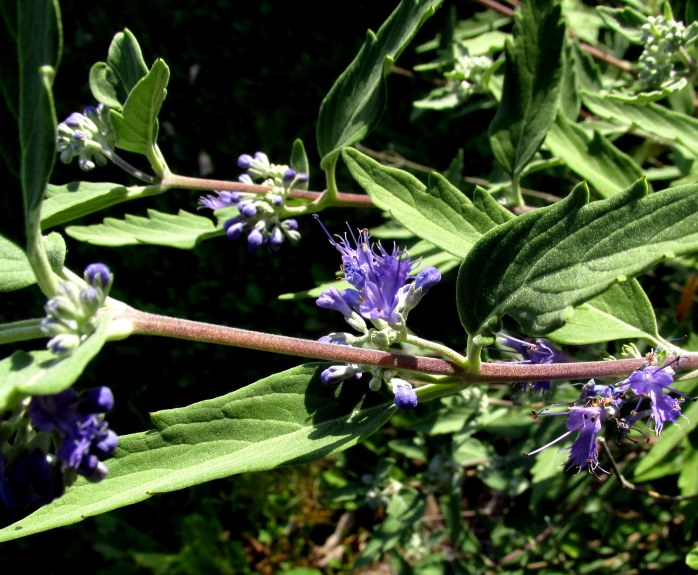 caryopteris 'Longwood Blue' just starting to bloom, 31 Aug