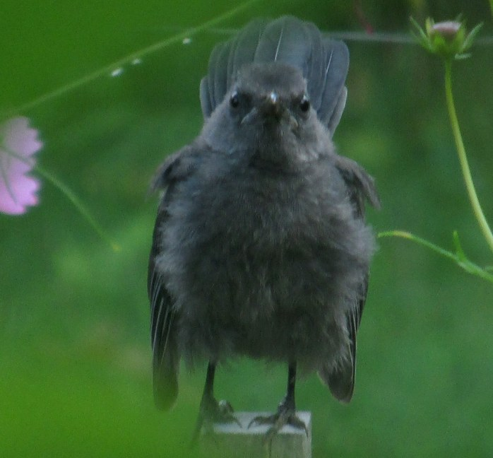 catbird in veggie garden, 26 Aug