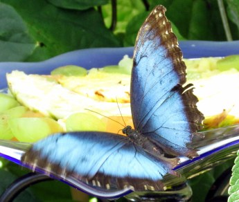 Common Morpho