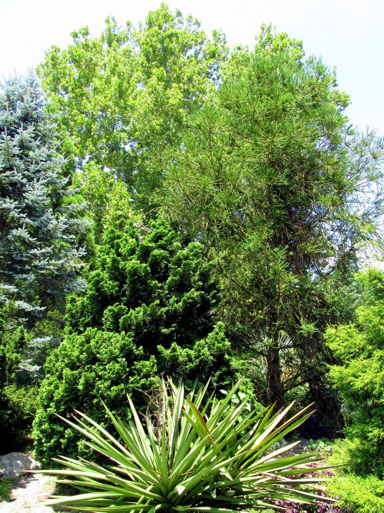 conifers, yucca