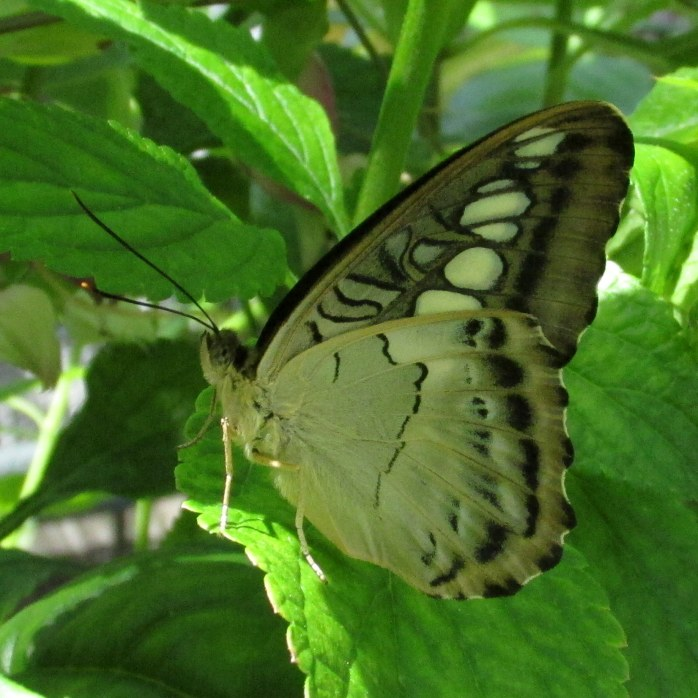 creamwhiteblackbutterflyGinterRichmond17July2016