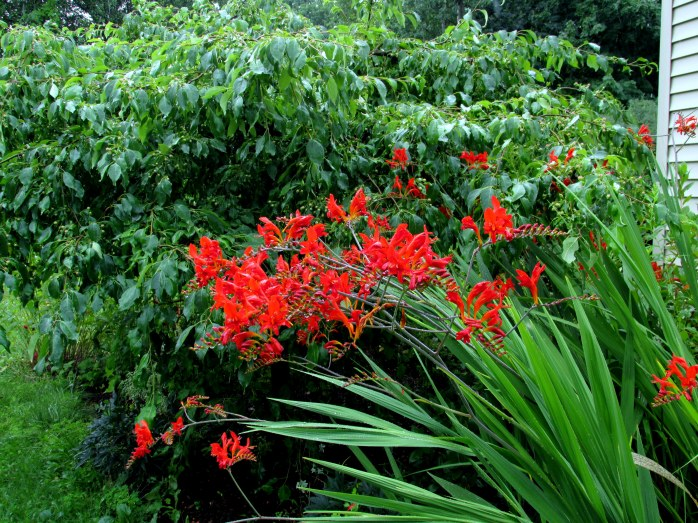 crocosmia against weeping 'Jade' crabapple