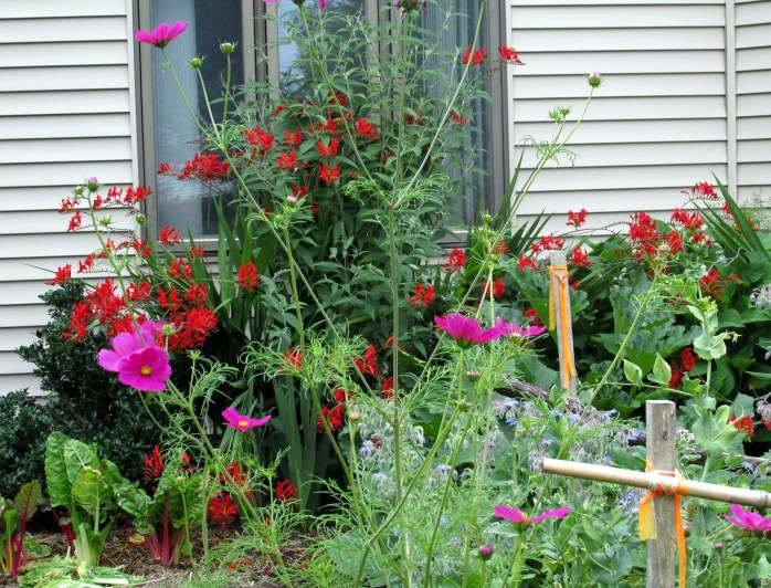 crocosmia, cosmos, borage, buddleia, chard, holly ...