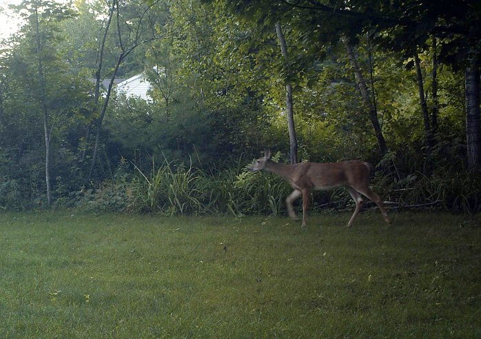 deer on motion camera at 6:40 a.m., 28 Aug
