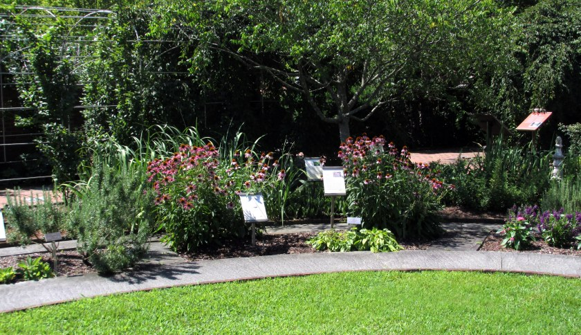 echinacea in Healing Garden