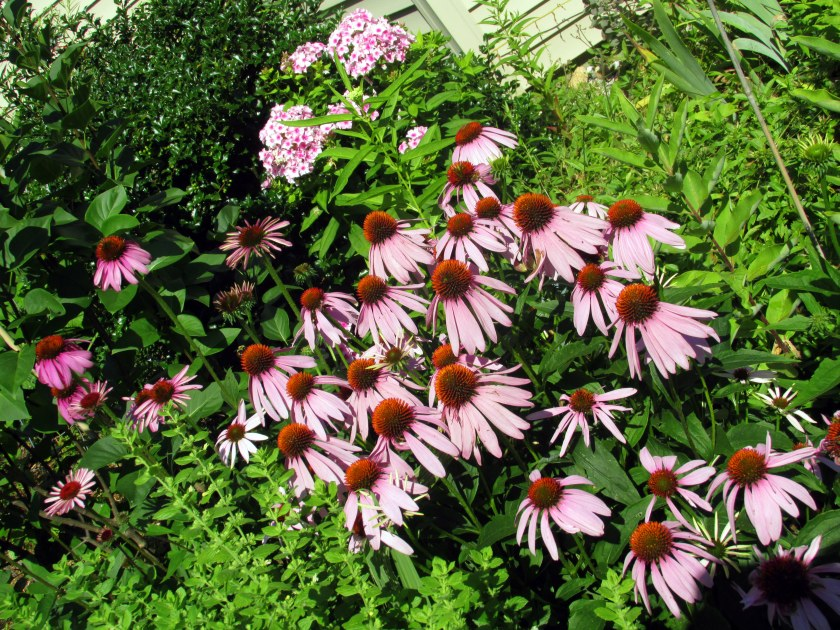 echincea and Intensia Neon pink phlox
