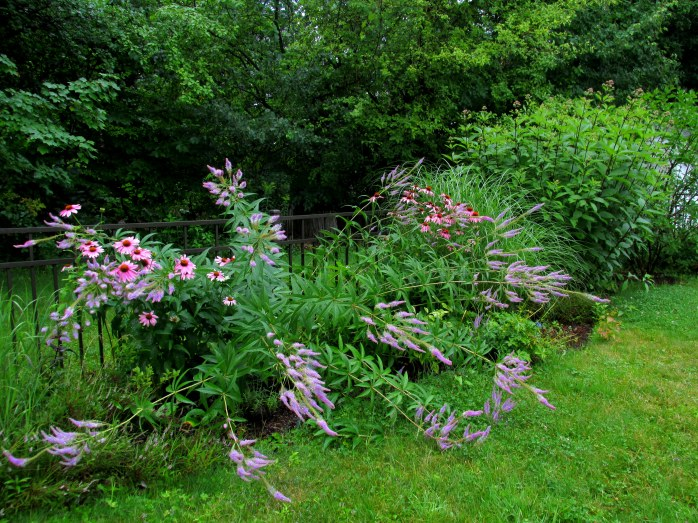 veronicastrum, echinacea in back border, bent down by rain