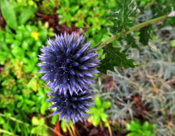 echinops (globe thistle), with sedum and dianthus below