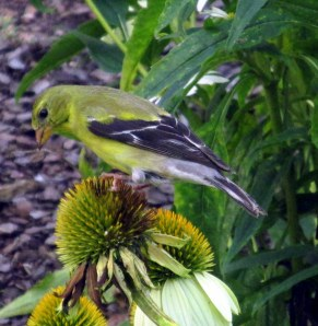 female goldfinch on echinacea seedhead
