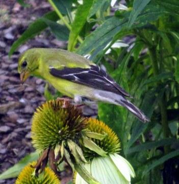 female goldfinch on echinacea seedhead