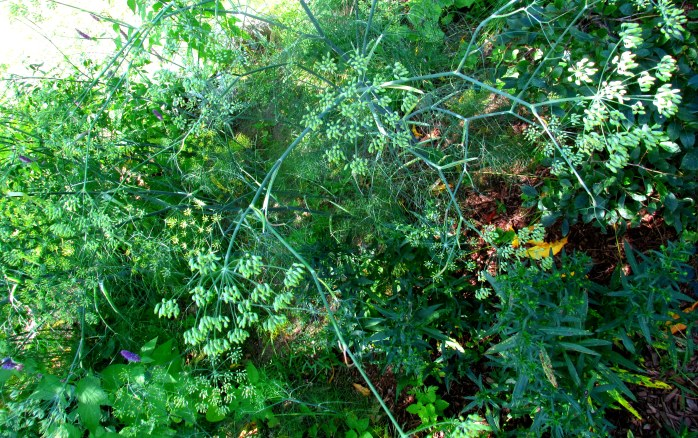 fennel, aster leaves in fruit guild, 31 Aug