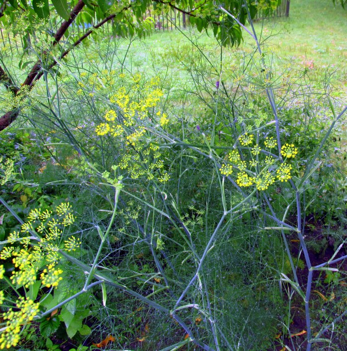 fennel blooming