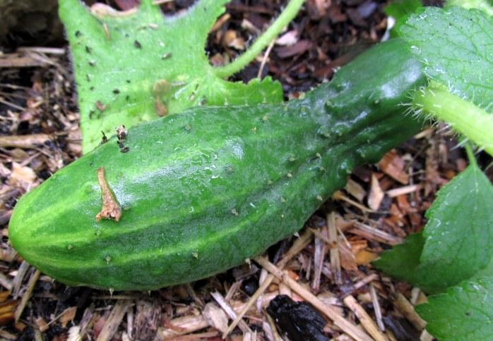 first cucumber!