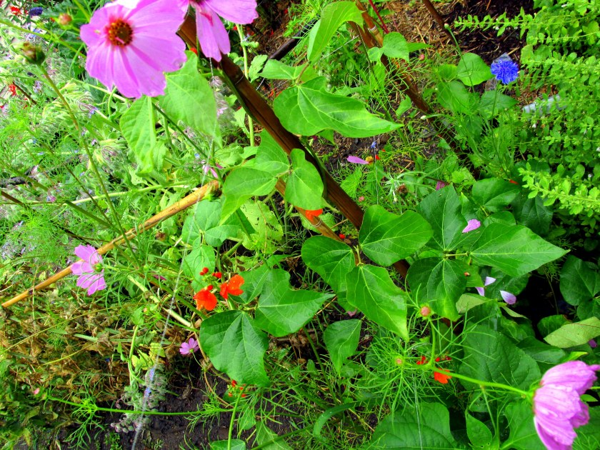 another flower intersection in veggie garden, with scarlet runner bean bloom, re-seeded cosmos, bachelor button, plus some lemon balm photobombing