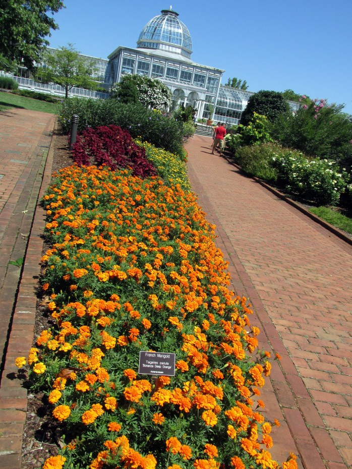 French marigold 'Bonanza Deep Orange' along pathway