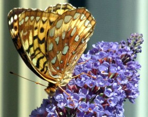 fritillary on buddleia, 23 Aug