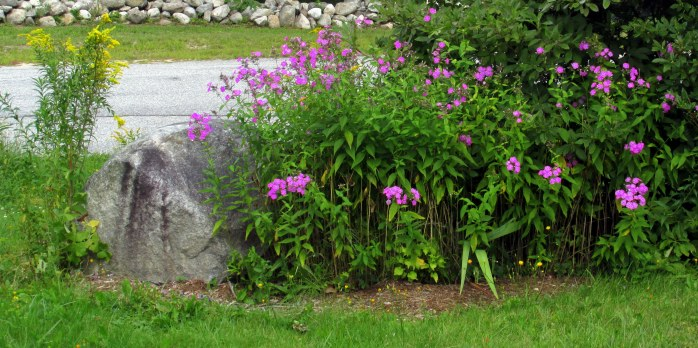 front yard phlox, and goldenrod, 29 Aug