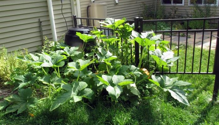 giant gourd plant, 31 Aug