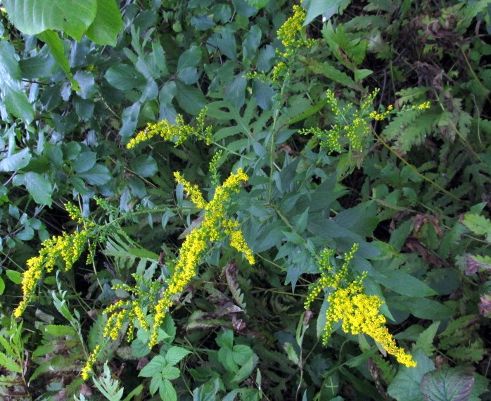 goldenrod and ferns, 31 Aug