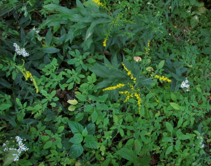 goldenrod, white asters, jewel weed, et al. in backyard wild strip, 31 Aug