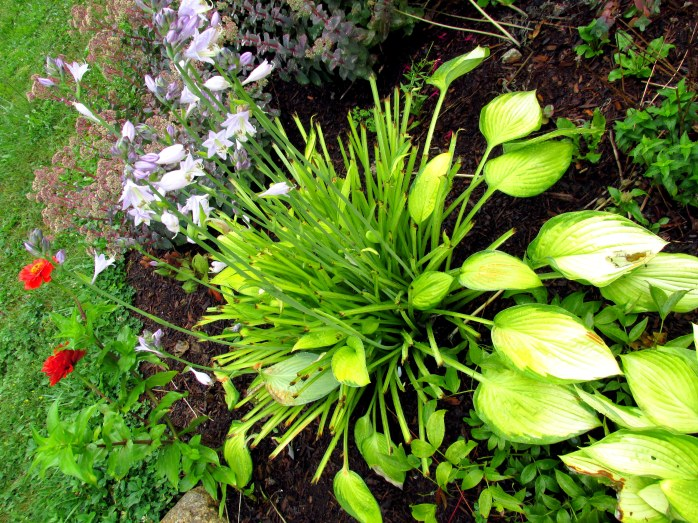 'Gold Standard' hosta eaten by deer but still blooming
