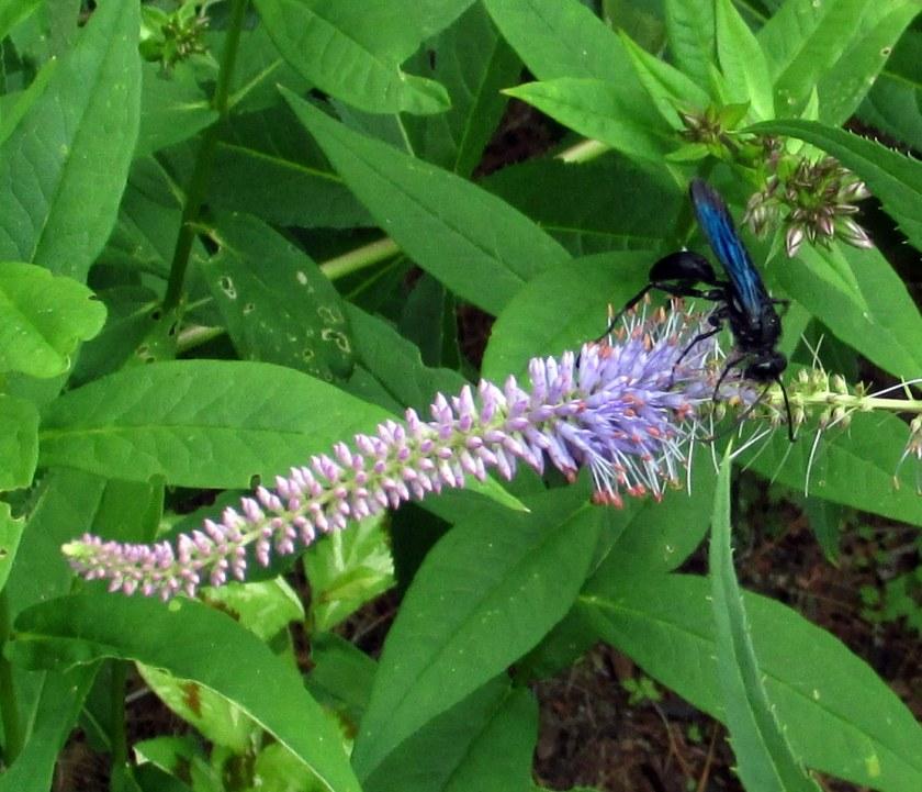 great black wasp on veronicastrum