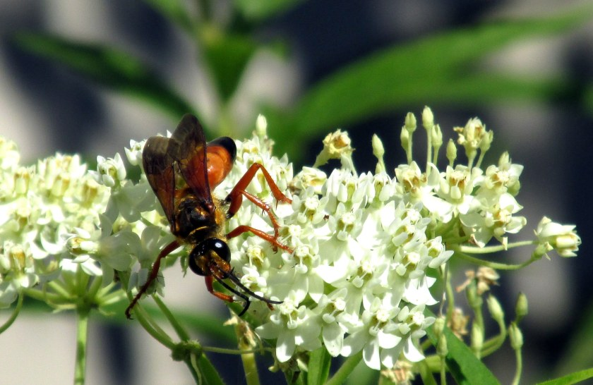 great golden digger wasp on asclepias incarnata 'Ice Ballet'