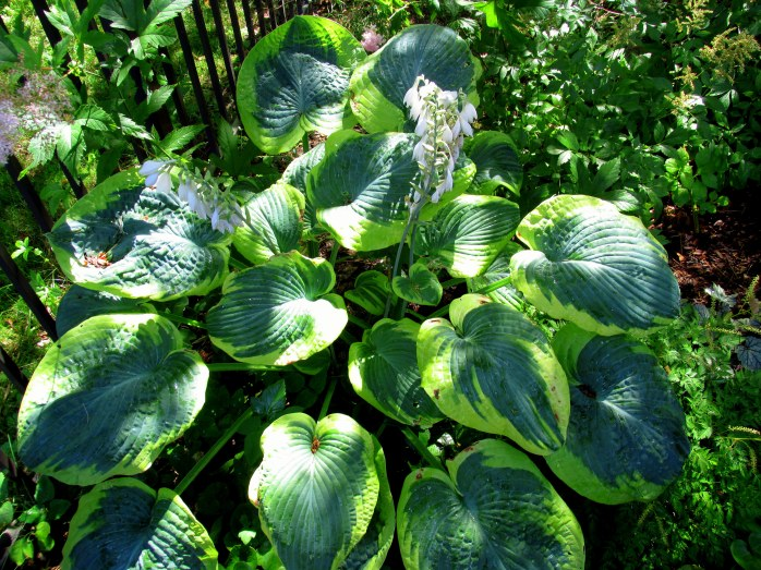 'Francis Williams' hosta