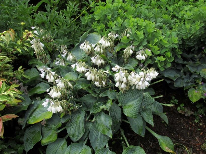 'Halcyon' hosta in bloom