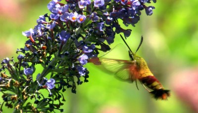 hummingbird moth on buddleia (butterfly bush), 12 Aug