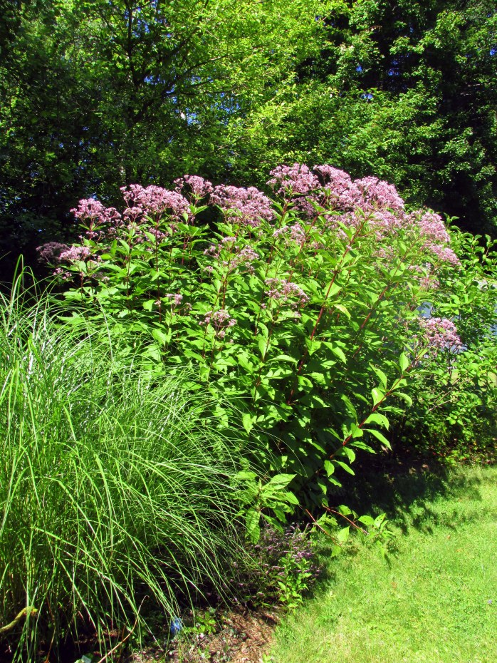 grasses and Joe Pye weed, 23 Aug
