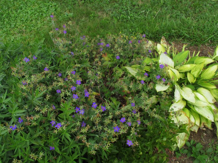 Johnson's blue geranium and Gold Standard hosta, 29 Aug